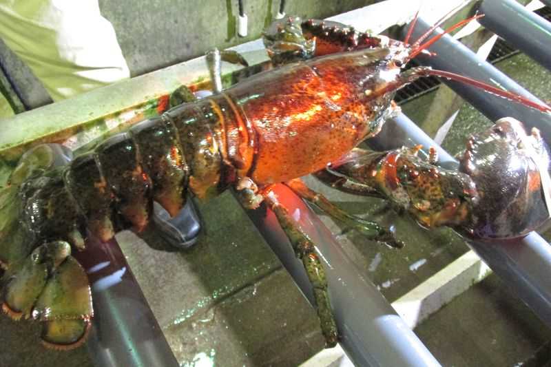 8 pounder at Clearwater Lobsters
